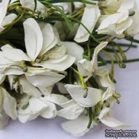 Польская гортензия, цвет белый