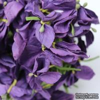Польская гортензия, цвет ярко-фиолетовый