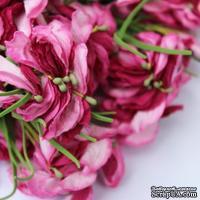 Польская гортензия, цвет темно-розовый