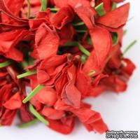Польская гортензия, цвет красный